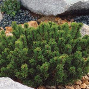 Сосна горная пумилио - Pinus mugo var. pumilio