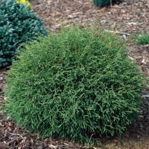 Туя западная «Mr. Bowling Ball» - Thuja occidentalis «Mr. Bowling Ball»