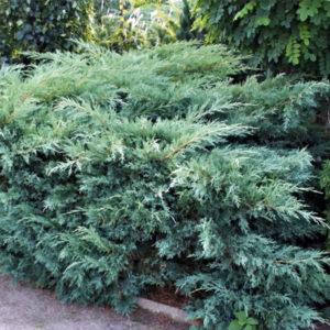Можжевельник виргинский «Hetz» - Juniperus virginiana «Hetz»
