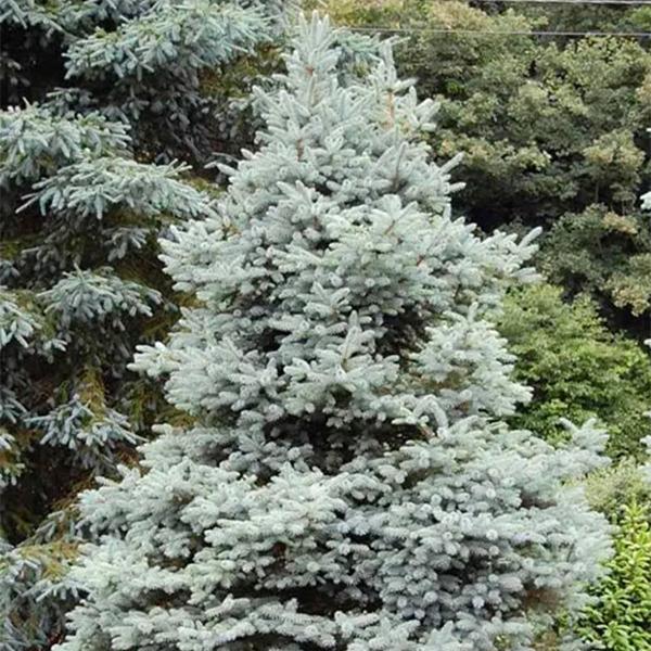 Ель колючая «Blue Trinket» - Picea pungens «Blue Trinket»
