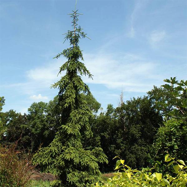 Ель обыкновенная «Rothenhaus» - Picea abies «Rothenhaus»