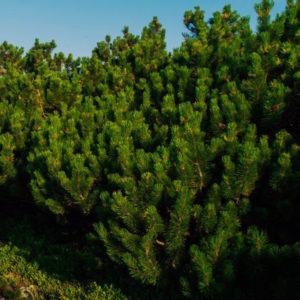 Сосна горная - Pinus mugo