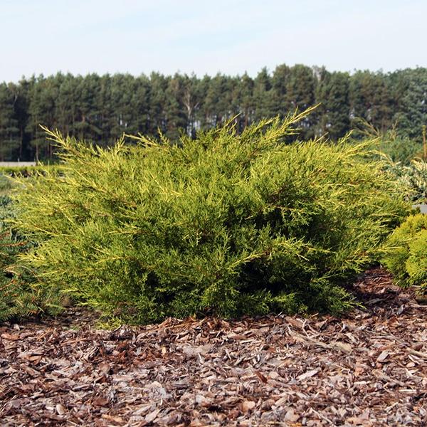 Можжевельник китайский «Kuriwao Gold» - Juniperus chinensis «Kuriwao Gold»
