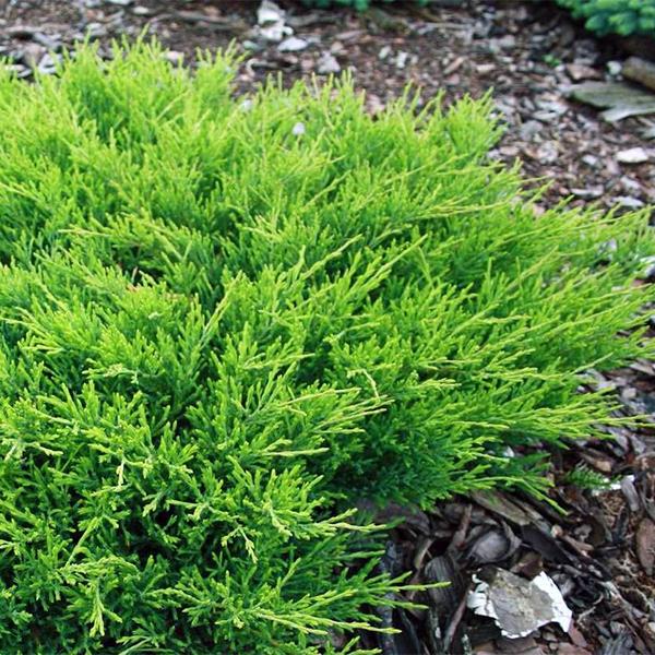 Можжевельник горизонтальный «Andorra Compact» - Juniperus horizontalis «Andorra Compact»