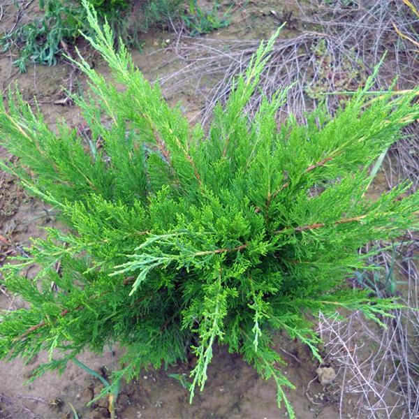 Можжевельник китайский «Mint Julep» - Juniperus chinensis «Mint Julep»