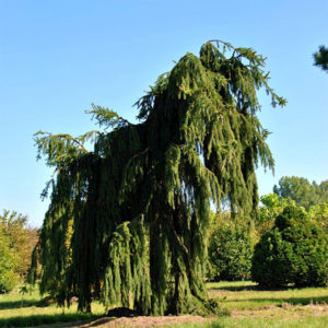 Ель обыкновенная «Inversa» - Picea abies «Inversa»