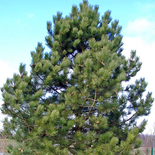 Сосна черная австрийская - Pinus nigra var. austriaca
