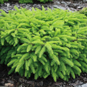 Ель обыкновенная «Nidiformis» - Picea abies «Nidiformis»
