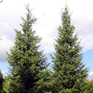 Ель сербская - Picea omorika