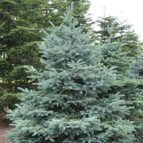 Ель колючая сизая - Picea pungens f. glauca