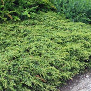 Можжевельник обыкновенный «Repanda» - Juniperus communis «Repanda»