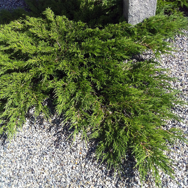 Можжевельник казацкий «Arcadia» - Juniperus sabina «Arcadia»