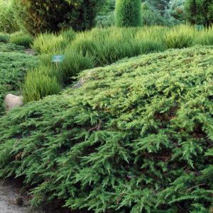 Можжевельник обыкновенный «Green Carpet» - Juniperus communis «Green Carpet»