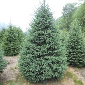 Ель канадская - Picea glauca