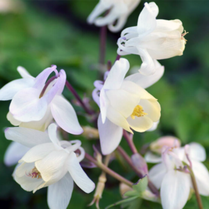 Аквилегия вееровидная «Cameo White» - Aquilegia flabellata «Cameo White»