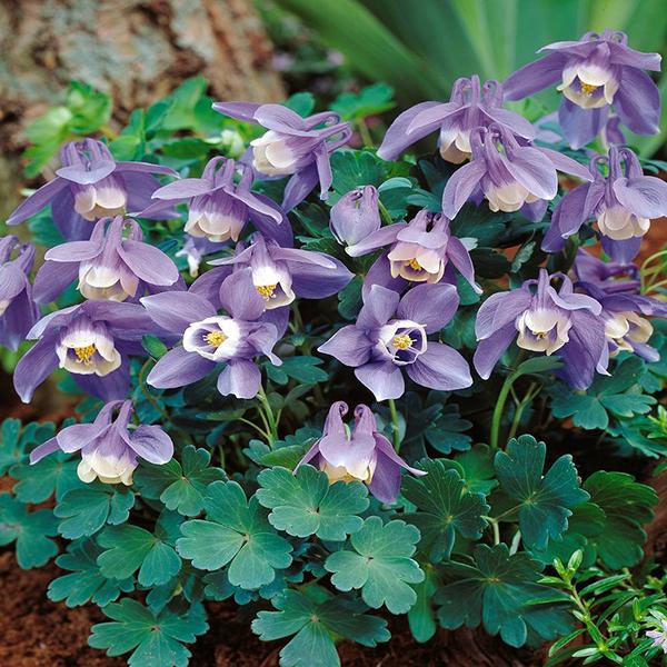 Аквилегия вееровидная - Aquilegia flabellata