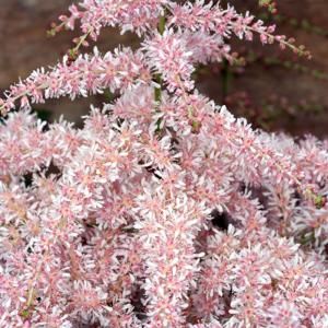 Астильба простолистная «Pink Lightning» - Astilbe simplicifolia «Pink Lightning»