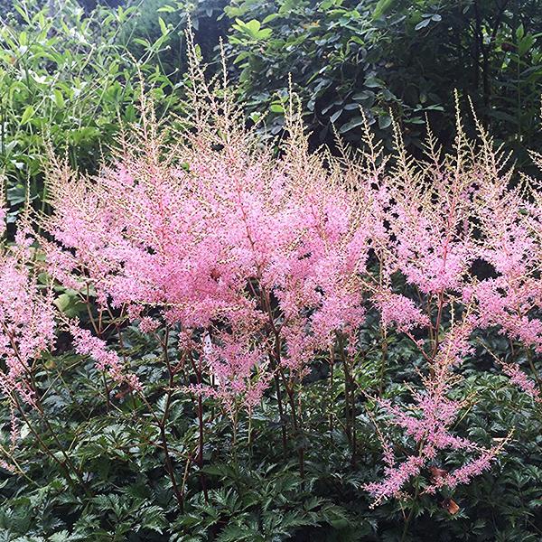 Астильба простолистная «Hennie Graafland» - Astilbe simplicifolia «Hennie Graafland»