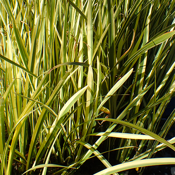 Аир болотный «Variegatus» - Acorus calamus «Variegatus»