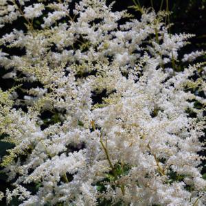 Астильба простолистная «Darwins Snowsprite» - Astilbe simplicifolia «Darwins Snowsprite»