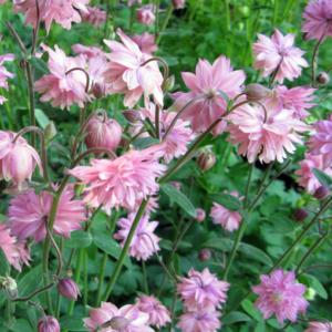 Аквилегия обыкновенная «Rose Barlow» - Aquilegia vulgaris «Rose Barlow»