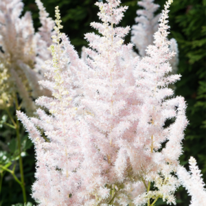 Астильба китайская «Milk and Honey» - Astilbe chinensis «Milk and Honey»