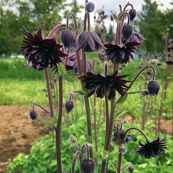 Аквилегия обыкновенная «Black Barlow» - Aquilegia vulgaris «Black Barlow»