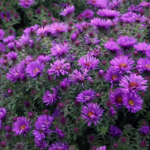 Астра новоанглийская «Purple Dome» - Aster novae-angliae «Purple Dome»