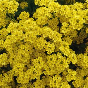 Алиссум скальный - Alyssum saxatile
