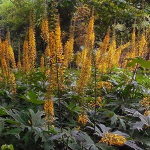 Бузульник Пржевальского - Ligularia przewalskii