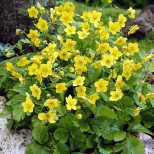 Вальдштейния тройчатая - Waldsteinia ternata