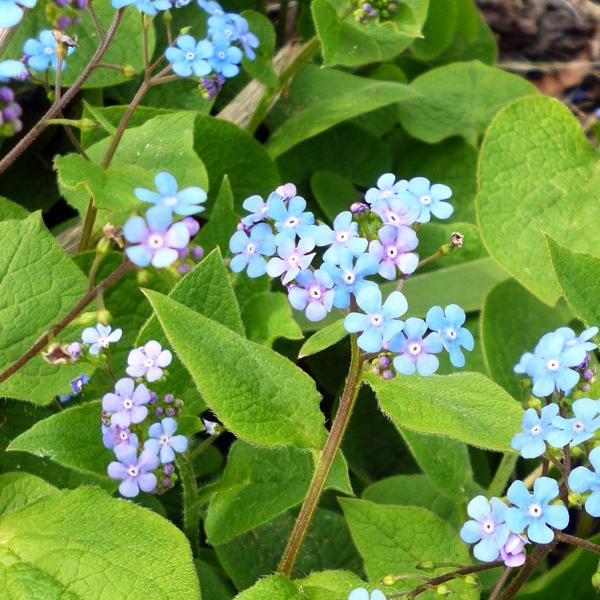 Бруннера крупнолистная - Brunnera macrophylla