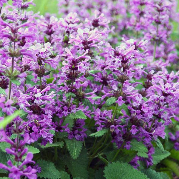 Буквица крупноцветковая - Stachys grandiflora