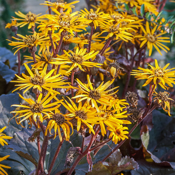 Бузульник зубчатый «Dark Beauty» - Ligularia dentata «Dark Beauty»
