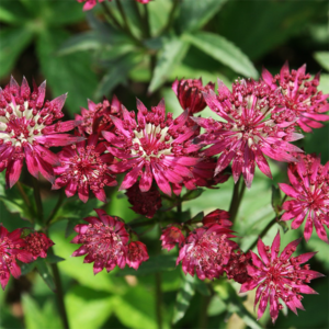 Астранция крупная «Ruby Wedding» - Astrantia major «Ruby Wedding»