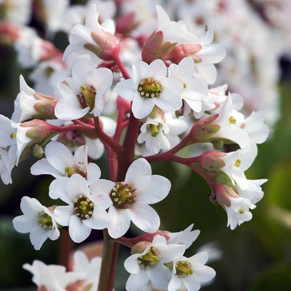Бадан сердцелистный «Bressingham White» - Bergenia cordifolia «Bressingham White»