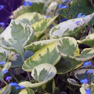 Бруннера крупнолистная «Hadspen» - Brunnera macrophylla «Hadspen»
