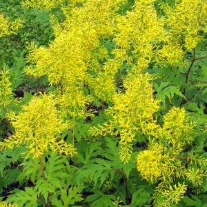 Бузульник тангутский - Ligularia tangutica