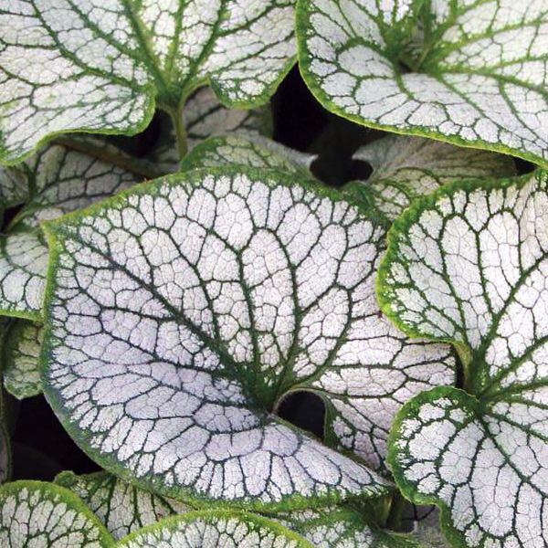 Бруннера крупнолистная «Jack Frost» - Brunnera macrophylla «Jack Frost»