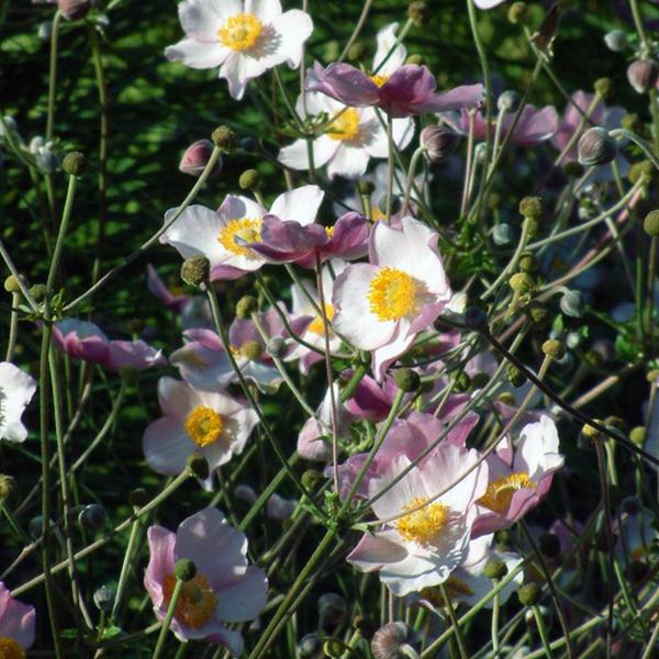 Ветреница войлочная - Anemone tomentosa
