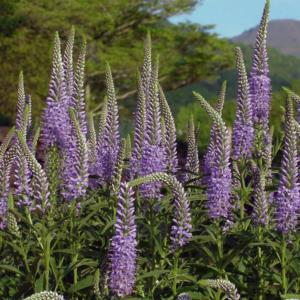 Вероника длиннолистная - Veronica longifolia