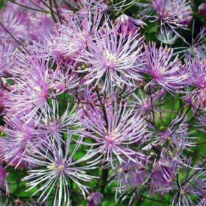 Василек водосборолистный - Centaurea aquilegifolium