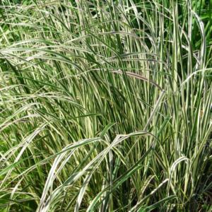 Вейник остроцветковый «Overdam» - Calamagrostis x acutiflora «Overdam»