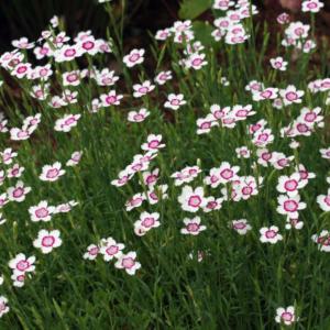 Гвоздика травянка «Arctic Fire» - Dianthus deltoides «Arctic Fire»