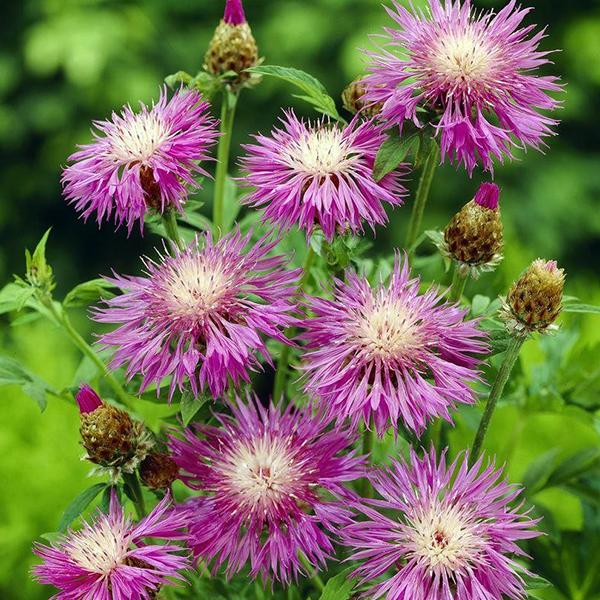 Василек подбеленный - Centaurea dealbata