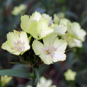 Гвоздика Кнаппа - Dianthus knappii