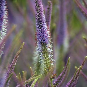 Вероникаструм виргинский - Veronicastrum virginicum