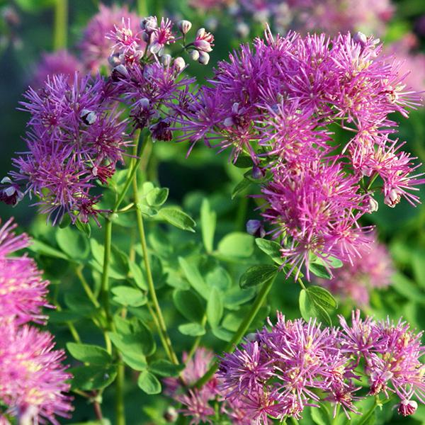 Василистник водосборолистный «Thundercloud» - Centaurea aquilegifolium «Thundercloud»