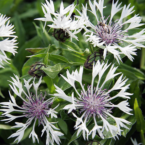 Василек горный «Alba» - Centaurea montana «Alba»