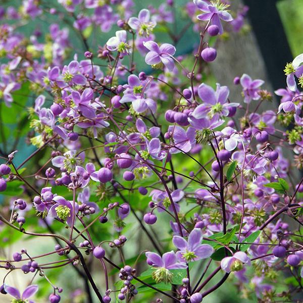 Василистник Делавея - Centaurea delavayi